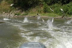 silver carp jumping on boat wake
