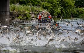 asian carp taking over a lake and other water ways