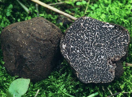 Wat is truffel melanosporum