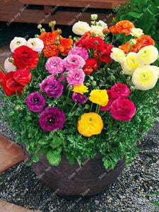 Oiko Store  Bonsai Plants 100 Pcs Ranunculus Asiaticus Flower Mixed Corful Flower Pot for Home Garden DIY Persian Buttercup Flower Plant