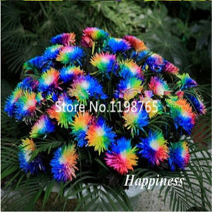 Oiko Store  Sale! 300 Pcs Novel Rainbow Chrysanthemum Flower Bonsai, Chrysanthemum Perennial Bonsai Flower Daisy Potted Plant For Garden