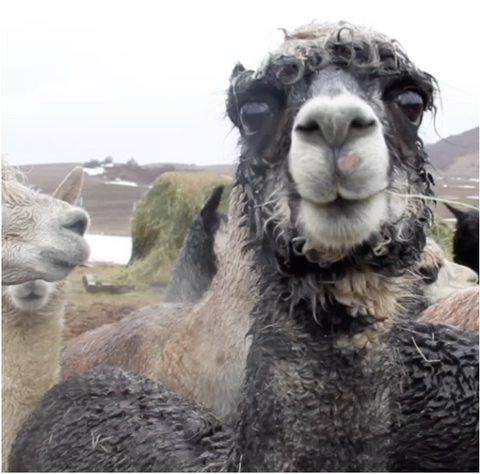 Penny the Talking Alpaca