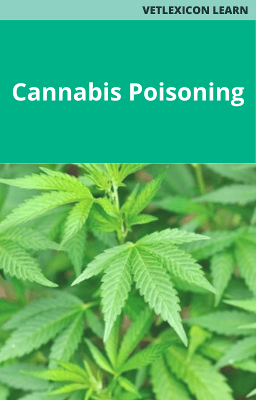 Cannabis Poisoning