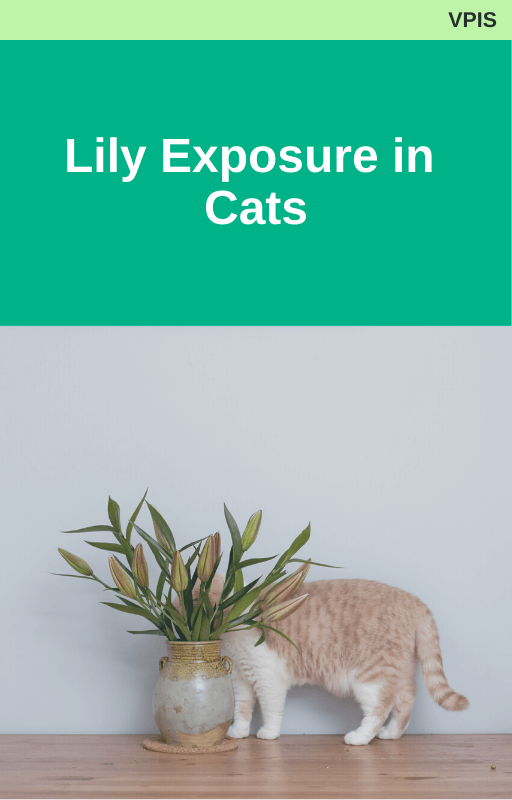 Lily Exposure in Cats