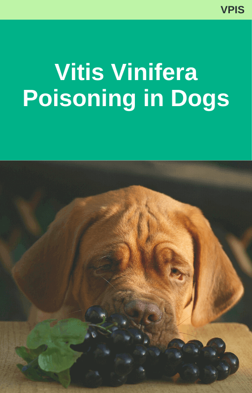 Vitis Vinifera Poisoning in Dogs