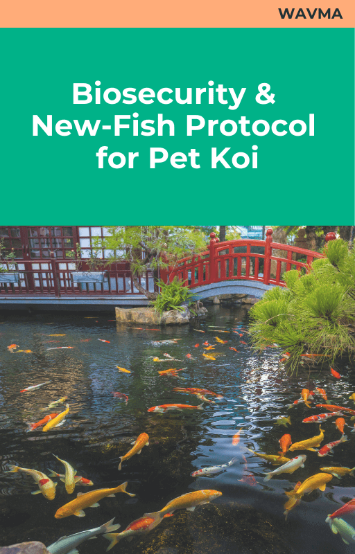 Biosecurity and New Fish Protocol for Pet Koi