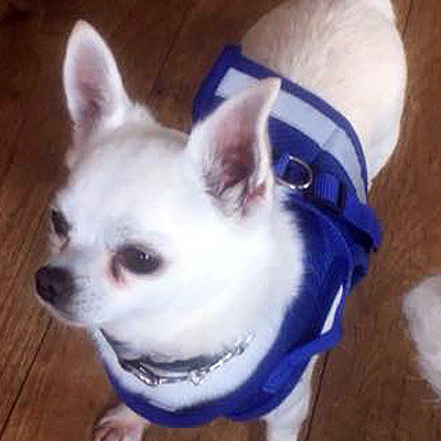 Chihuahua Mesh Reflective Vest Harness and Lead Set Bright Blue Chihuahua Clothes and Accessories at My Chi and Me