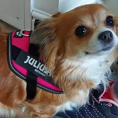 Julius K9 IDC Powerharness for Puppies and Chihuahuas Dark Pink