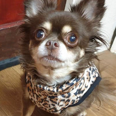 Leopard Print Water Resistant Padded Gilet Style Coat Chihuahua or Small Dog Chihuahua Clothes and Accessories at My Chi and Me