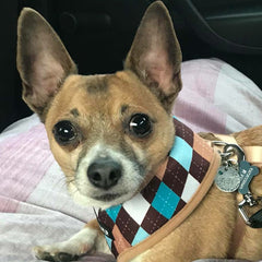 Brown Blue and Aqua Argyle Harness by Urban Pup Chihuahua Clothes and Accessories at My Chi and Me