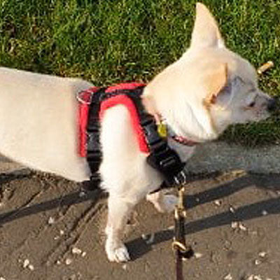 15mm PerfectFit Complete Harness XXS-XXS-S for Large Chihuahuas and Toy Breeds 40-50cm Chest - My Chi and Me