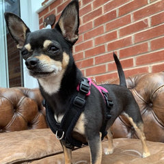 15mm PerfectFit Complete Harness XXS-XXS-S for Large Chihuahuas and Toy Breeds 40-50cm Chest 8 COLOURS Chihuahua Clothes and Accessories at My Chi and Me