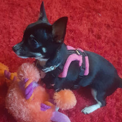 Tiny PerfectFit Complete Harness 1-2 for Chihuahua Puppies and Tiny Chihuahuas 24-30cm Chest 9 COLOURS Chihuahua Clothes and Accessories at My Chi and Me