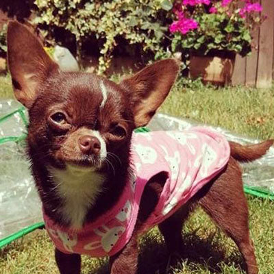 Chihuahua or Chihuahua Puppy Cotton Jersey Bunny Vest