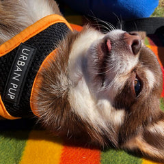 Active Mesh Black and Orange Harness by Urban Pup Chihuahua Clothes and Accessories at My Chi and Me