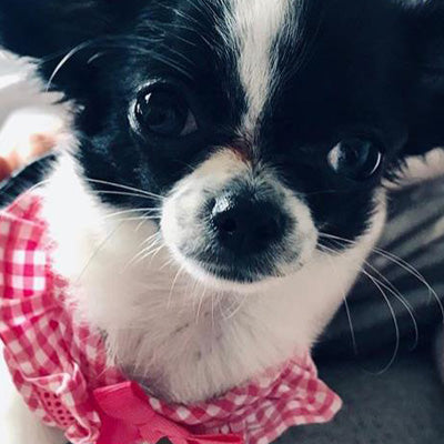Puppia Vivien Chihuahua Harness A Pink 3 Sizes Chihuahua Clothes and Accessories at My Chi and Me