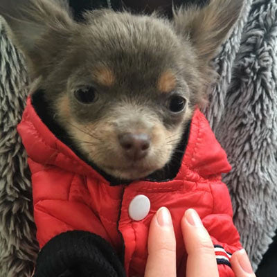 Lightweight Sporty Padded Chihuahua Puppy or Small Dog Hooded Coat Red Chihuahua Clothes and Accessories at My Chi and Me