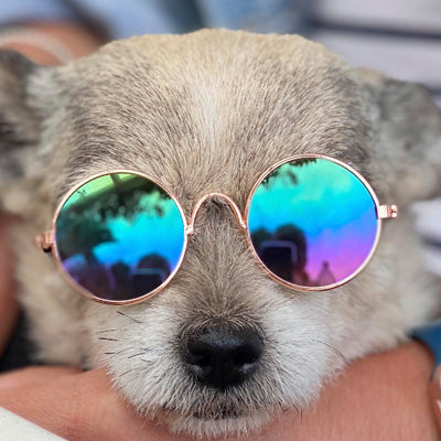 Small Dog Sunglasses Chihuahuas Shades 8 COLOURS Chihuahua Clothes and Accessories at My Chi and Me