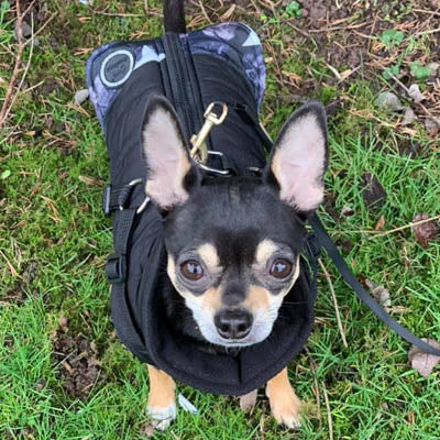 Trekker Water Resistant Padded Chihuahua Dog Coat with Inbuilt Harness Black Stars