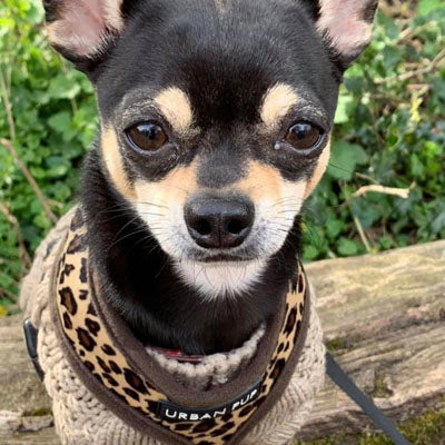 Leopard Print Water Resistant Padded Gilet Style Coat Chihuahua or Small Dog - My Chi and Me