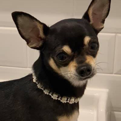 Chihuahua Bling Necklace Small Dog Faux Pearl and Diamante Starlight Collar Chihuahua Clothes and Accessories at My Chi and Me