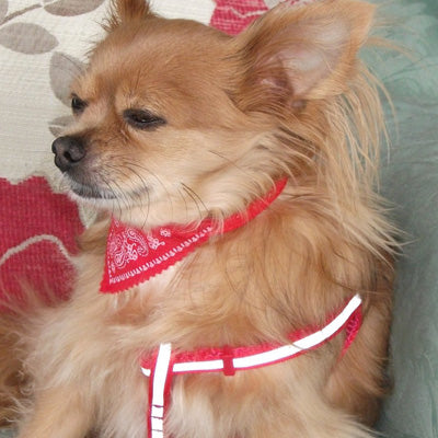 Reflective Chihuahua Harness and Lead Red Strong Webbing Chihuahua Clothes and Accessories at My Chi and Me