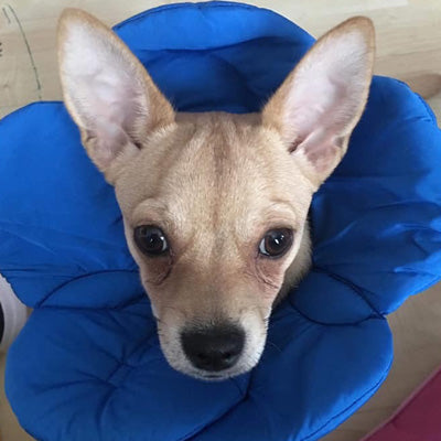 Post Surgery Soft Protective Flower Collar Blue Chihuahua Clothes and Accessories at My Chi and Me