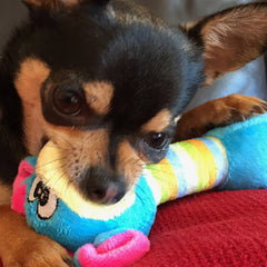 Chihuahua or Small Dog Plush Toy with Squeaker Blue