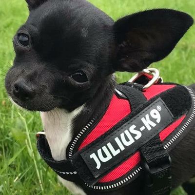 Julius K9 IDC Powerharness for Puppies and Chihuahuas Red - My Chi and Me