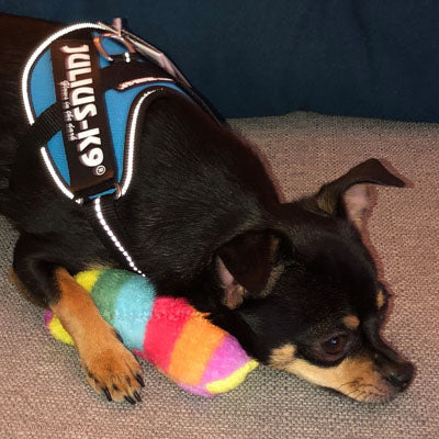 Julius K9 IDC Powerharness for Puppies and Chihuahuas Aquamarine Chihuahua Clothes and Accessories at My Chi and Me