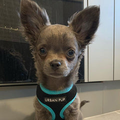 Active Mesh Black and Blue Harness by Urban Pup Chihuahua Clothes and Accessories at My Chi and Me