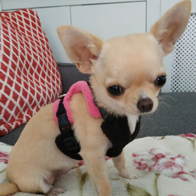 Tiny PerfectFit Complete Harness 1-2 for Chihuahua Puppies and Tiny Chihuahuas 24-30cm Chest