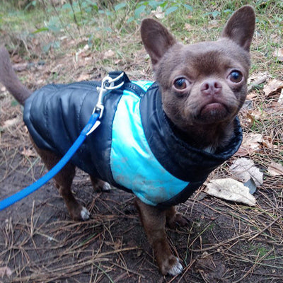 Chihuahua dog coat gilet style black and blue water resistant