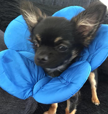 Post Surgery Soft Protective Flower Collar Blue - My Chi and Me
