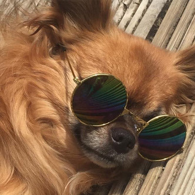 Medium Sunglasses for Larger Chihuahuas and Small Dogs Chihuahua Clothes and Accessories at My Chi and Me