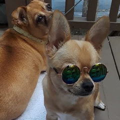 Sunglasses in 7 Colours for Chihuahuas and Puppies Small NEW COLOURS Chihuahua Clothes and Accessories at My Chi and Me