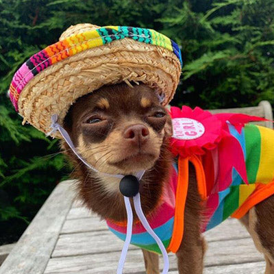 Chihuahua or Small Dog Rainbow Striped Pride T Shirt Chihuahua Clothes and Accessories at My Chi and Me