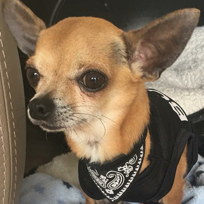 BOSS Vest T-Shirt Chihuahua Small Dog Vest Chihuahua Clothes and Accessories at My Chi and Me