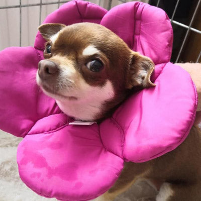 Post Surgery Soft Protective Flower Collar Dark Pink Chihuahua Clothes and Accessories at My Chi and Me