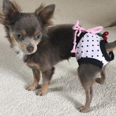 Chihuahua Season Pants Lightweight Sanitary Menstruation Knickers 3 COLOURS Chihuahua Clothes and Accessories at My Chi and Me