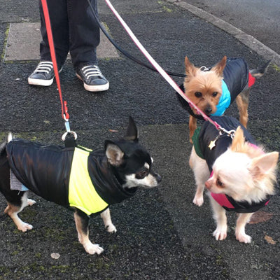 Gilet Style Dog Coat Water Resistant Black And Yellow Padded Jacket Chihuahua Clothes and Accessories at My Chi and Me