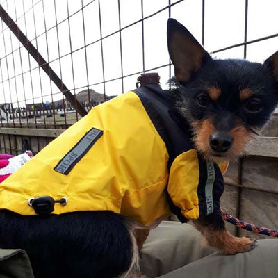 Urban Pup Chihuahua Puppy Chihuahua or Small Dog Black & Yellow Trailfinder Windbreaker Jacket Chihuahua Clothes and Accessories at My Chi and Me