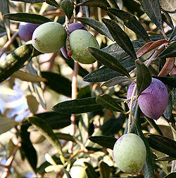 Olive oil for natural skin care and beauty