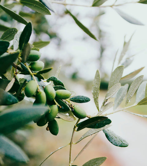 5 Reasons Why You Can Rely On Olive Oil based Skin Care