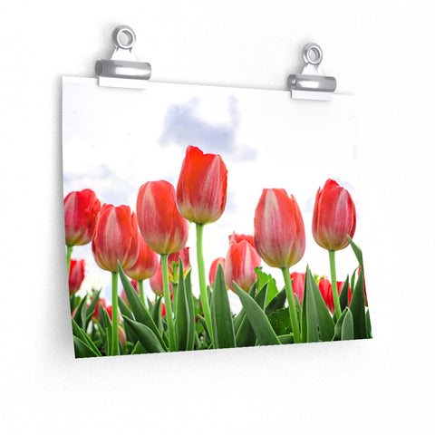 Tulip Field Flower Floral Garden Peppermint Pink and White Stripe Premium Matte horizontal poster - Jim N Em Designs
