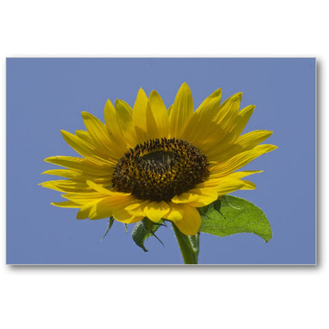 Sunflower on Blue Sky Gallery Mini Canvas Print - Jim N Em Designs