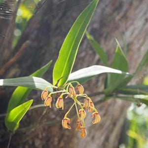 Native Orchids with Bob Bell, David Arhens and Celia Duffy Saturday 5 May 8:30 - 10:30