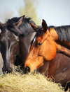 Horse Health: Reduce Colic With a Healthy Gut
