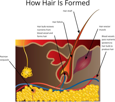 how hair is formed