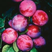 Plums Top Hit 400g Herefordshire